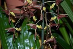 Gongora - No Id (douneika) Tags: gongora orchidea orchidaceae orquidea orchid orchideetaxonomy:family=orchidaceae taxonomy:binomial=gongorasp