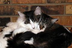 Together (Lisa Zins) Tags: whitewithtabbymarkings tabby noah elijah together both cat feline petsandanimals animals pets sleeping cheektocheek lisazins tn tennessee