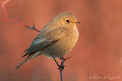 Codirosso spazzacamino f. (Simone Mazzoccoli) Tags: sunrise bird birds birdwatching animals colors background bokeh wild wildlife canon blackredstart