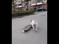 Cute Pitbull Playing Skateboard on Street (tipiboogor1984) Tags: aww cute cat funny dog youtube
