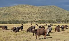 African Buffalo (Everyday Glory!!!) Tags: lakenakuru nakuru africa kenya africanbuffalo buffalo capebuffalo
