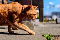Red tabby of Enoshima : 江の島のチャトラ (Dakiny) Tags: 2019 spring march japan kanagawa fujisawa enoshima island shonancoast city street animal mammal cat bokeh nikon d750