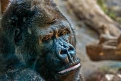 Gorilla-Mann im Zoo Leipzig (Corno3) Tags: grau ungesättigt gorilla primat säugetier zoo affe leipzig tier sachsen deutschland de