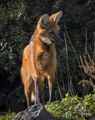 Maned Wolf (jt893x) Tags: 150600mm canid chrysocyonbrachyurus d500 jt893x manedwolf nikon nikond500 sigma sigma150600mmf563dgoshsms thesunshinegroup coth alittlebeauty sunrays5 coth5