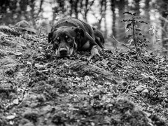 Darla (nicladam) Tags: chien dog forêt wood hunt berger sheperd noir et blanc black withe sigma sony a6000