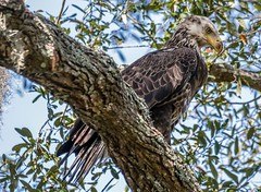 Bald Eagle (backyardzoo) Tags: 20190318 eagle shipyard bald bird tree