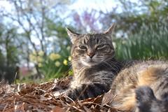 Camille by my side (rootcrop54) Tags: camille female mackerel tabby cat leaves mulch spring color daffodils neko macska kedi 猫 kočka kissa γάτα köttur kucing gatto 고양이 kaķis katė katt katze katzen kot кошка mačka gatos maček kitteh chat ネコ