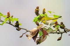 綠繡眼(Japanese White-Eye,目白) (Gregg Huang) Tags: natures nature sel400f28gm a9 birdwatching birds bird