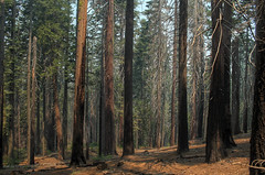 Sequoia forest (Kasimir) Tags: sequoia redwoods forest trees nature yosemite wood bosque california