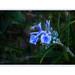 La délicate fleur de rosmarinus officinalis, Romarin,  l' arbrisseau des garrigues ,  symbole de gaieté………
