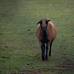 Cattle (GelbGleb) Tags: colored цветное фото photo животное зеленый green animal коричневый brown
