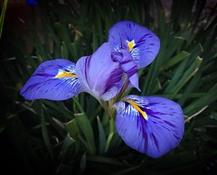Flower: Dutch Iris. Victoria - Australia (rosgloryfire) Tags: flickr dutchiris macrodreams springflowershow colorful blooming bright growth season vibrant rosgf nature flora leaf floral garden petal beautiful blueflower macro botanical flowers