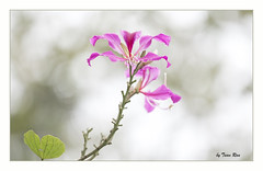 SHF_8781_Bauhinia variegata (Tuan Râu) Tags: 1dmarkiii 14mm 100mm 135mm 1d 1dx 2470mm 2019 50mm 70200mm canon canon1d canoneos1dmarkiii canoneos1dx flowers flora floral tree branch branchtree spring summer dof bokeh white yellow beautiful beauty nature bloom leaf color red tuanrau tuan tuấnrâu2019 râu httpswwwfacebookcomrautuan71