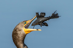 Staring into the abyss! (Linda Martin Photography) Tags: circleb usa wildlife nature bird doublecrestedcormorant phalacrocoraxauritus animal florida circlebbarreserve alittlebeauty specanimal natureinfocusgroup naturethroughthelens coth coth5 theunforgettablepictures ngc npc
