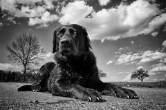 April Girl (uwe.kast) Tags: labrador labradorretriever labradorredriver hund haustier dog bichou black blackandwhite panasonic lumix leica leicadg1260f2840