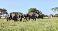 Advancing ... (AnyMotion) Tags: africanelephant afrikanischerelefant loxodontaafricana elephants elefanten family familie 2018 anymotion tarangirenationalpark tanzania tansania africa afrika travel reisen animal animals tiere nature natur wildlife 6d canoneos6d landscape landschaft landschaftsaufnahmen
