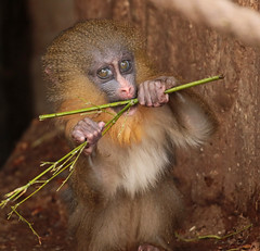 mandrill artis 094A0245 (j.a.kok) Tags: animal artis africa afrika aap mammal monkey mandril mandrillussphinx mandrill zoogdier dier primate primaat