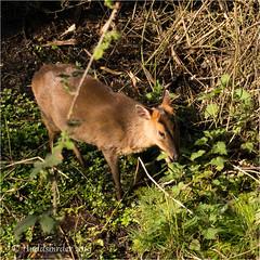 Muntjac Deer (Huddsbirder) Tags: huddsbirder a6500 sony fe70300mm muntjacdeer titchwell rspb