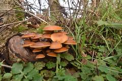 Fungi (PLawston) Tags: uk britain england surrey north downs mushrooms fungi