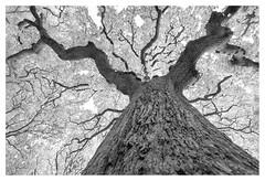 The Mighty Oak (leo.roos) Tags: oak eik bark bast schors tree boom branch tak a7rii sonycarlzeissvariotessar16354 cz landgoedmensingeroden darosa leoroos noiretblanc