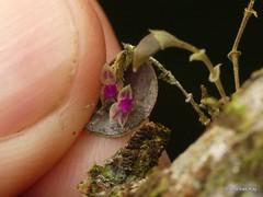 Miniature Orchid, Lepanthes stegastes? (Ecuador Megadiverso) Tags: andreaskay ecuador id329 jardinbotanicolasorquideas lepanthessp orchid unidentified lepanthesstegastes