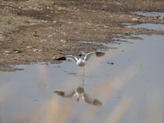 Avocet (Artybee) Tags: birds avocet middleton lake reserve