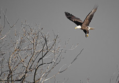 Wings at the Speed of Sound (Scott M. Mohn) Tags: animal bird baldeagle wildlife nature flying wings haliaeetusleucocephalus tree branches sky wingspan minnesota feathers talons winter plumage carnivore birdofprey raptor predator opportunistic desaturated