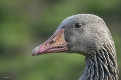 Oca (alfonso-tm) Tags: oca ave naturaleza zoo nikond800 nikon200500
