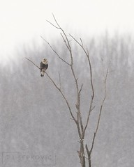Rough-legged Hawk (T L Sepkovic) Tags: roughleggedhawk hawk raptor birdsofprey snow winter wildlifephotography canonusa 5dmkiv