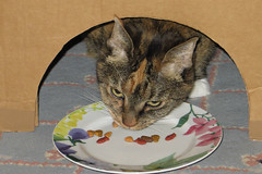 Gracie 8 November 2018 1460Ri 4x6 (edgarandron - Busy!) Tags: gracie patchedtabby cat cats kitty kitties tabby tabbies cute feline