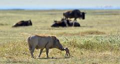 Ngorongoro Crater (Duma Overland) Tags: ngorongoro crater tanzania safari wildlife birding bird africa