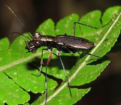 Odontocheila (Birdernaturalist) Tags: carabidae cicindelinae coleoptera costarica richhoyer