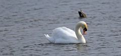 swan J78A0247 (M0JRA) Tags: swans robins birds humber ponds lakes people trees fields walks farms traylers