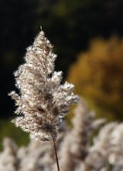 Fluffy&Nice (evisdotter) Tags: fluffynice reed vassax light autumn colors macro bokeh