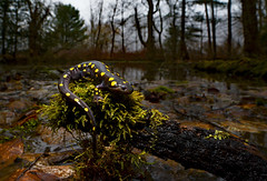 "Spotted Salamander (Ambystoma maculatum) (Alex Roukis) Tags: ""laowa15mm"" ""wideangleherpphotography"" salamander nature ny newyork newyorkwildlife nikon wildlife wild wildlifephotography amphibian alexroukis syracuse onondagacounty centralnewyork newyorkherping herping fieldherping spottedsalamander migration amphibianmigration ambystoma"