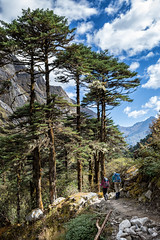 Trees and sky on the way to Tampoe Tsho - Wangdue Phodrang district - Snowman Trek - Bhutan (PascalBo) Tags: nikon d500 asie asia southasia asiedusud drukyul drukgyalkhap bhutan bhoutan འབྲུག་ཡུལ། འབྲུག་རྒྱལ་ཁབ་ snowman trek trekking hike hiking lunana wangduephodrang himalaya himalayas forest arbre tree vegetation forêt trail footpath sentier sky ciel outdoor outdoors pascalboegli mountain montagne trekker