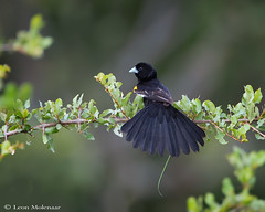 White-winged Widowbird (m) (leendert3) Tags: leonmolenaar southafrica krugernationalpark wildlife nature birds whitewingedwidowbird naturethroughthelens ngc coth5 npc