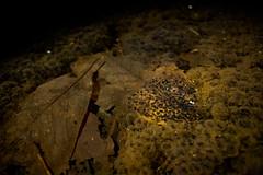 nihonakatamago19020401(C)Kotaro OKAMOTO (satoyamajin) Tags: spawn egg frog amphibian wildlife nighthike