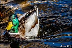2R3A5292-1 (Sir George R. F. Edwards) Tags: canon 7dmarkii bird lake massaciuccoli germano reale duck cormorano sunset wildlife gabbiano seagull tuscany