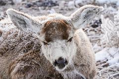 Frosty Buck (Bernie Duhamel) Tags: frosty frost winter colorado coloradowildlife wildlife frontrange greatphotographers teamsony rockymountains bernie duhamel bouldercounty boulder sonya9 sonyfe100400mm deer muledeerbuck buck cold