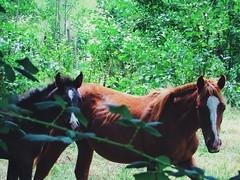 ohana <3 (Matias Ignacio MS) Tags: horse animals animal caballo nature ohana familia naturaleza canon