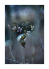 2019/1/13 - 13/18 photo by shin ikegami. - SONY ILCE‑7M2 / Carl Zeiss C Sonnar T* 1.5/50 ZM (shin ikegami) Tags: 紫陽花 macro マクロ flower 花 井の頭公園 吉祥寺 winter 冬 asia sony ilce7m2 sonyilce7m2 a7ii 50mm carlzeiss sonnar csonnar50mmf15 tokyo sonycamera photo photographer 単焦点 iso800 ndfilter light shadow 自然 nature 玉ボケ bokeh depthoffield naturephotography art photography japan earth
