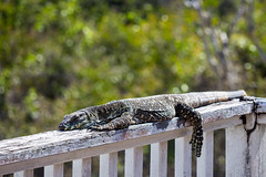 Lace Monitor Relaxing in the Sun (do_japan) Tags: sunshine coast australia queensland lace monitor lizard reptile sunbathing scale claw eye animal wildlife nature goanna varanus varius