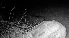 Bobcat - 02-11-19 (blazer8696) Tags: 2019 animalia bigtreerock brookfield ct chordata connecticut ecw felidae lynx lynxrufus mammalia obtusehill t2019 usa unitedstates animal bobcat camera carnivora carnivoran cat chordate game mammal rufus trail trap stc0745