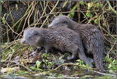 Two Otter Cubs (image 2 of 3) (Full Moon Images) Tags: wildlife nature animal mammal two wild otter cubs