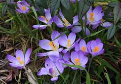 DSC_2526 Crocus (PeaTJay) Tags: nikond750 sigma reading lowerearley berkshire macro micro closeups gardens outdoors nature flora fauna plants flowers crocus