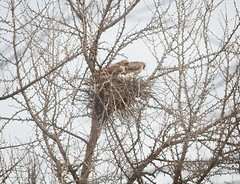 Christo and Amelia in the nest (Goggla) Tags: christo amelia nyc new york east village tompkins square park urban wildlife bird raptor red tail hawk adult female male nest ginkgo 2019