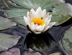 IMG_2441-1 (Andre56154) Tags: schweden sweden sverige blume flower pflanze see wasser water seerose waterlily