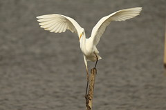 Balance (Teruhide Tomori) Tags: nature bird wild kyoto japan japon hirosawanoike pond winter greategret ダイサギ 野鳥 鳥 広沢池 京都 冬 野生 動物 自然 日本 water