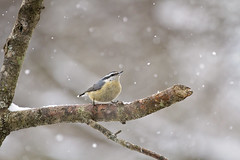 pointing nuthatch in snow (G_Anderson) Tags: nuthatch missouri winter birding backyard